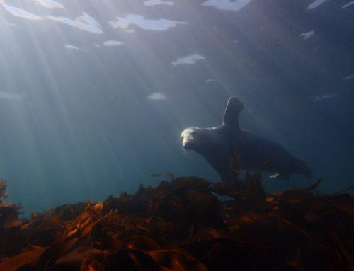 Toch nog zeehonden op de Farn Islands…